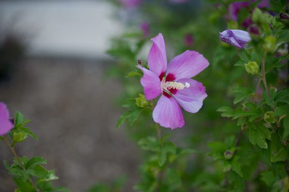 HIBISCUS APHRODITE - ROSE OF SHARON