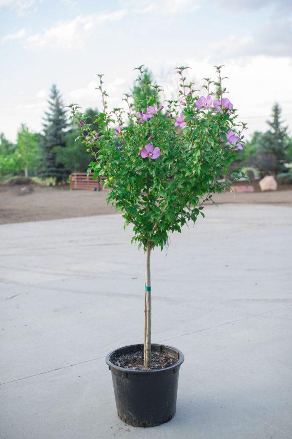 HIBISCUS TREE COELESTIS