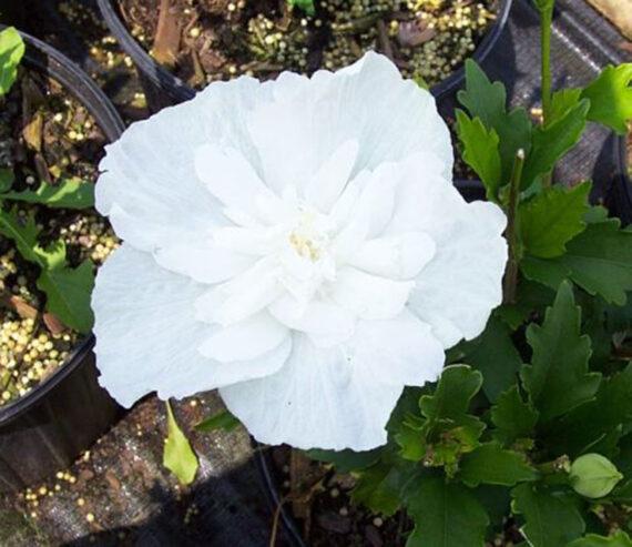 HIBISCUS TREE WHITE CHIFFON