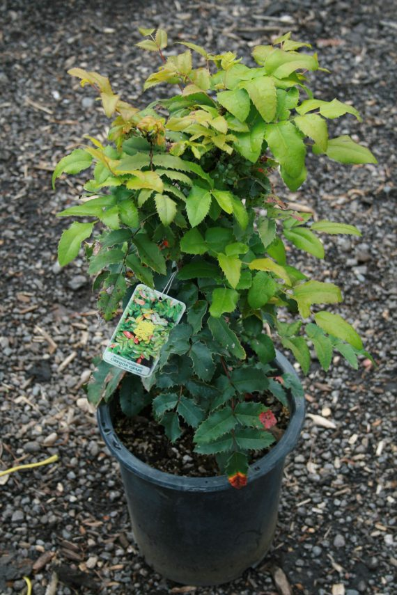 OREGON GRAPE HOLLY STANDARD