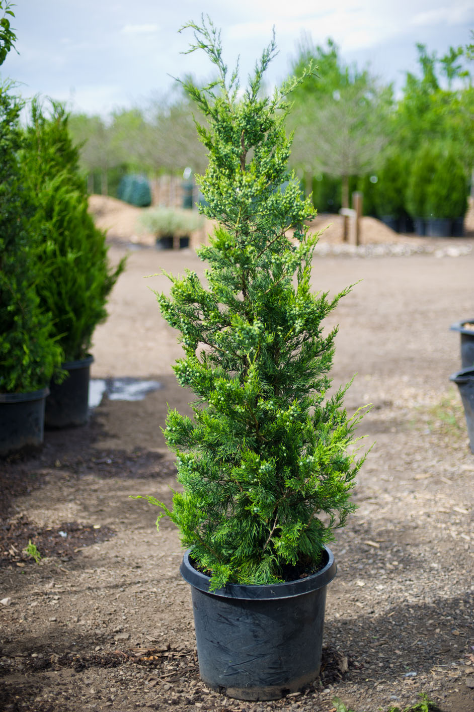 Pink Christmas Trees For Sale