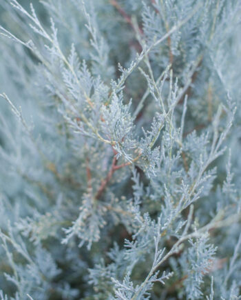 JUNIPER MOONGLOW