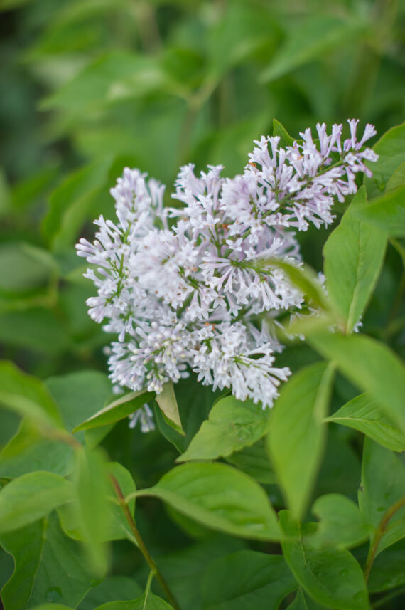 LILAC COMMON WHITE ANGEL