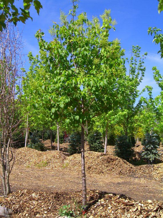LILAC TREE IVORY SILK JAPANESE