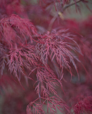 MAPLE CRIMSON QUEEN JAPANESE