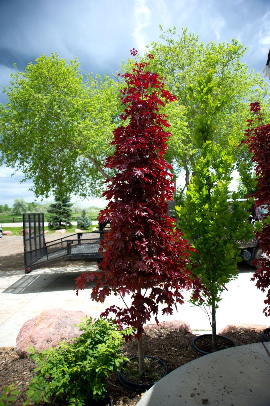 Maple Crimson Sentry Norway For Sale In Boulder Colorado