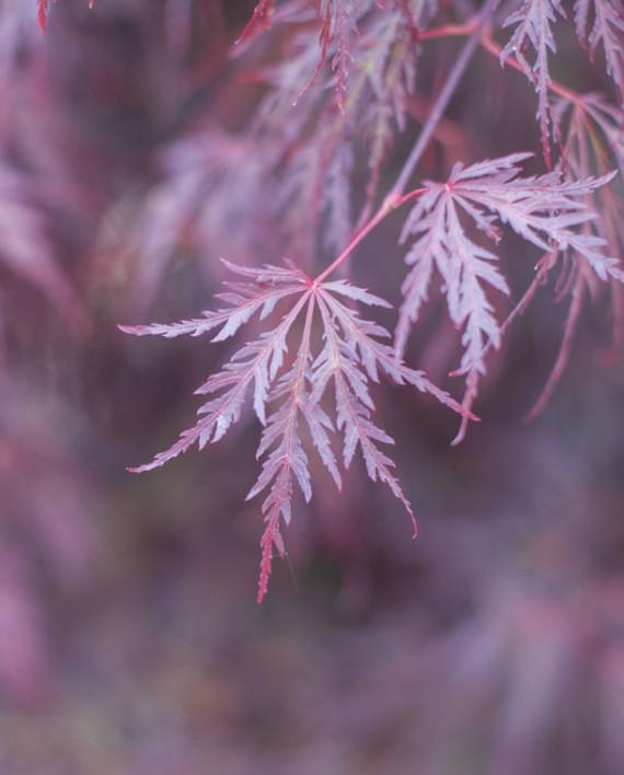Small Ornamental Trees Oregon: MAPLE TAMUKEYAMA JAPANESE