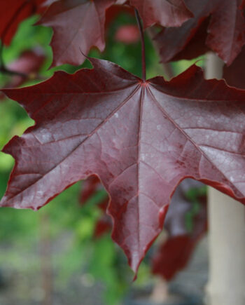 MAPLE ROYAL RED NORWAY
