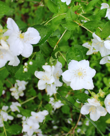 MOCK ORANGE CHEYENNE