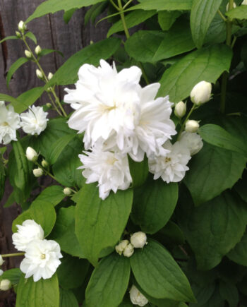 MOCK ORANGE MINIATURE SNOWFLAKE