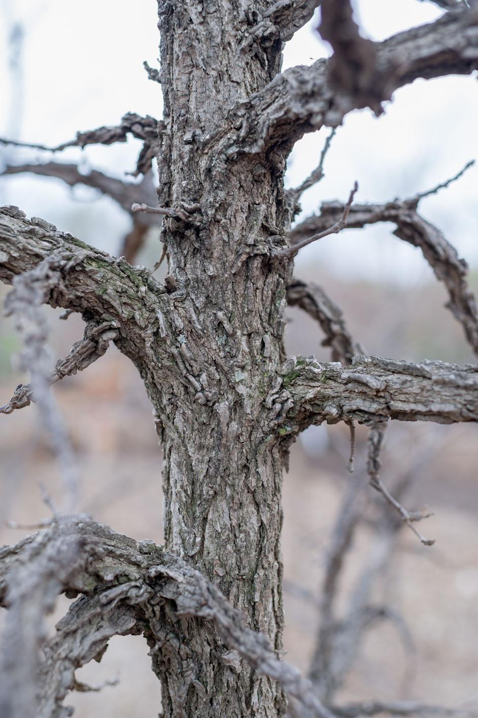 Oak Bur For Sale In Boulder Colorado