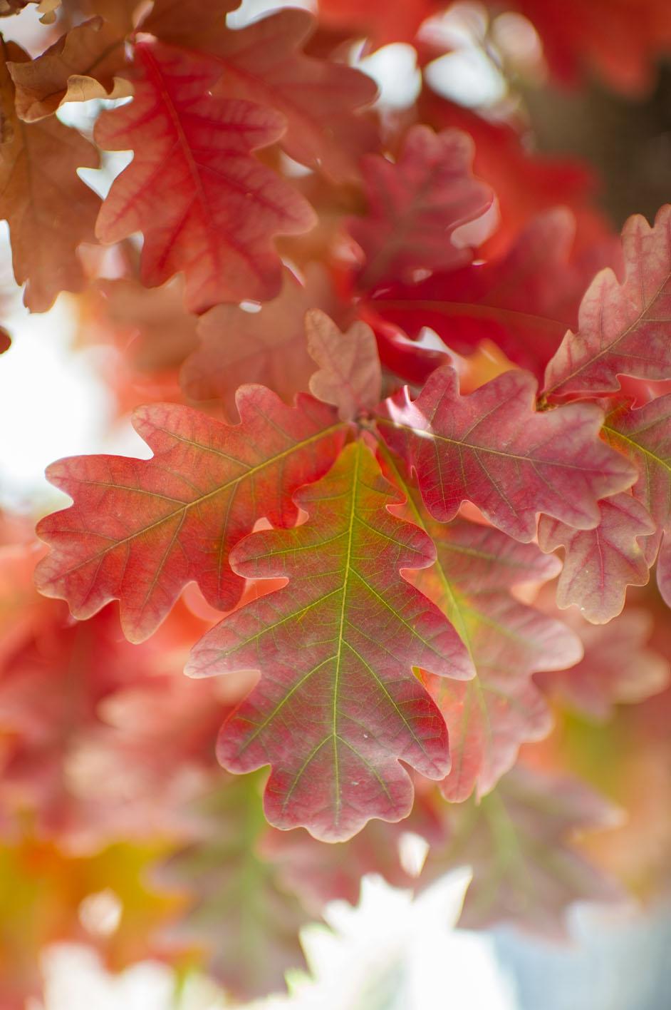 Oak Crimson Spire Columnar For Sale In Boulder Colorado