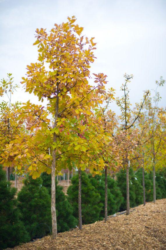 Oak swamp white creekside tree nursery