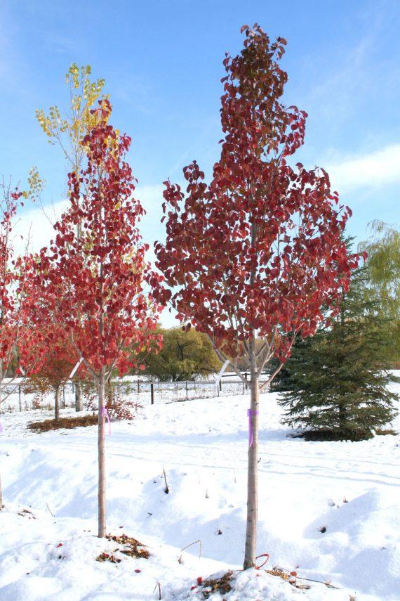 Pear Chanticleer Flowering Creekside Tree Nursery