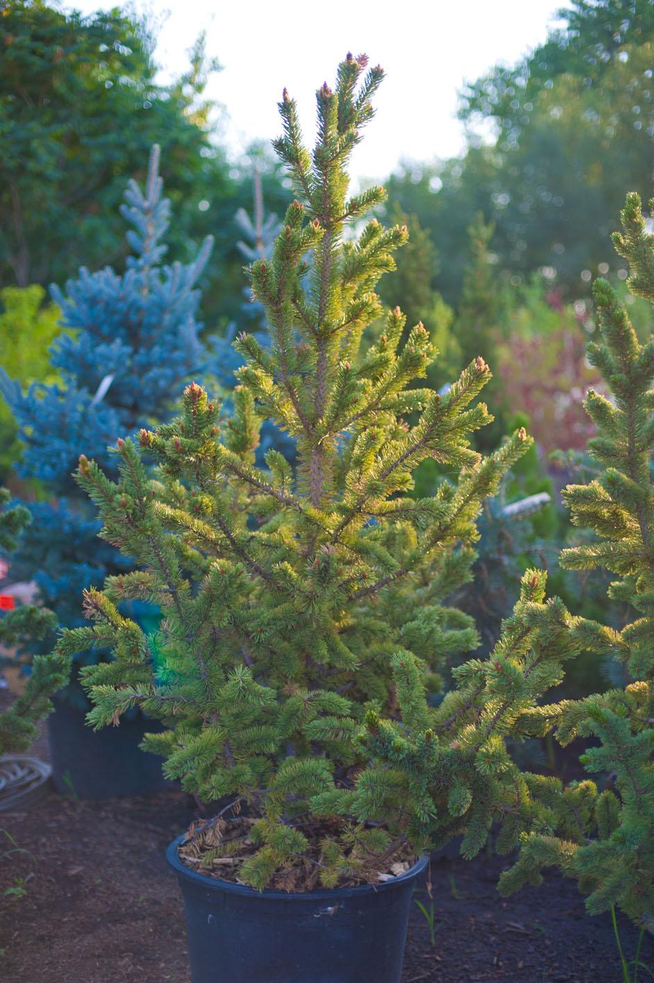 Pine bristlecone creekside tree nursery for Evergreen shop