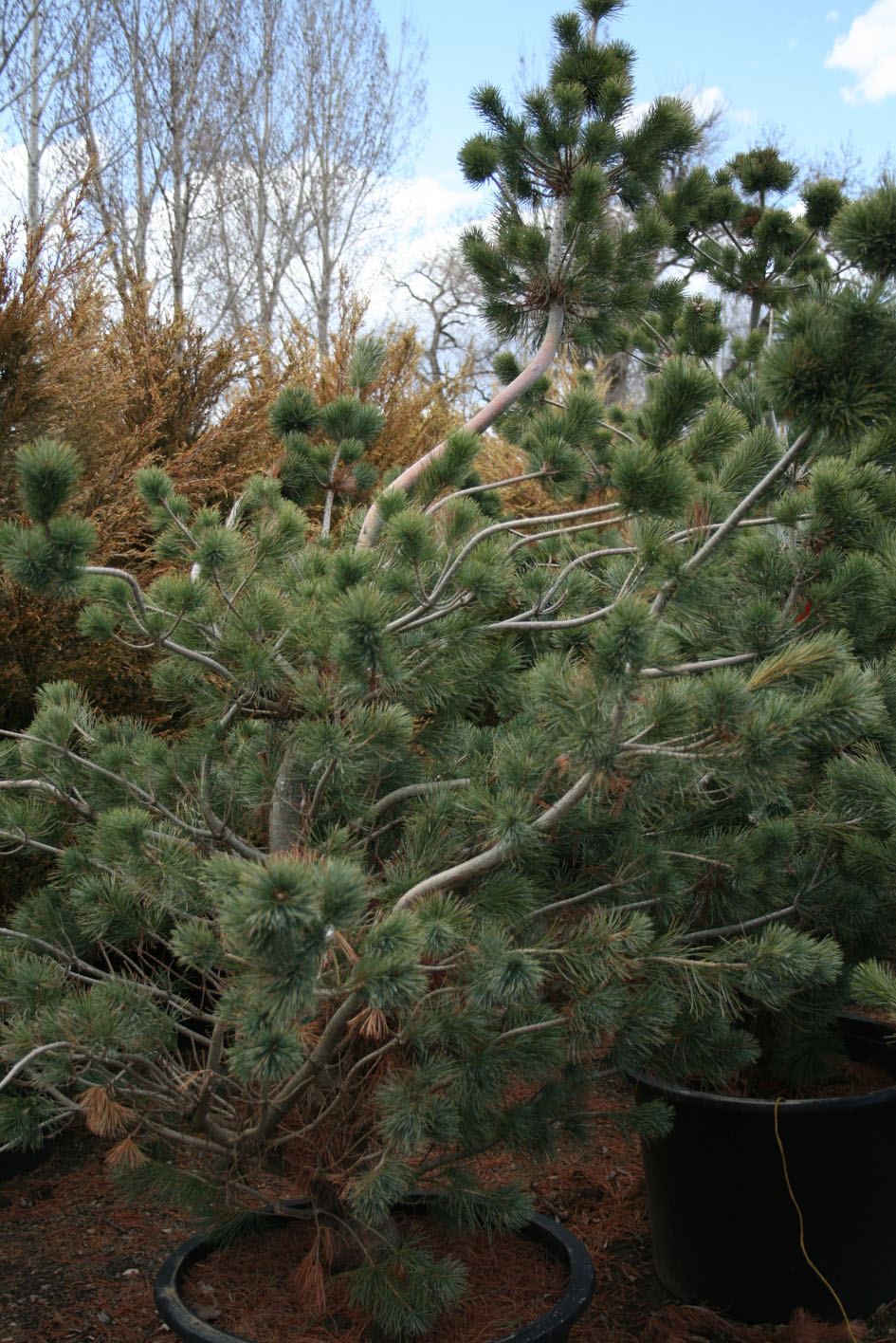 What Are The Best Christmas Trees To Buy