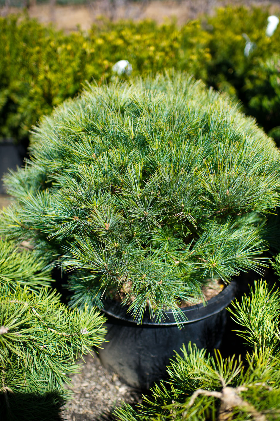 Pine Mugo Dwarf For Sale In Boulder Colorado