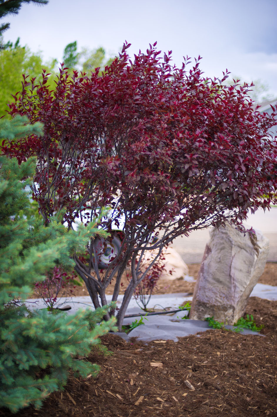 Plum Purple Leaf Sandcherry For Sale In Boulder Colorado