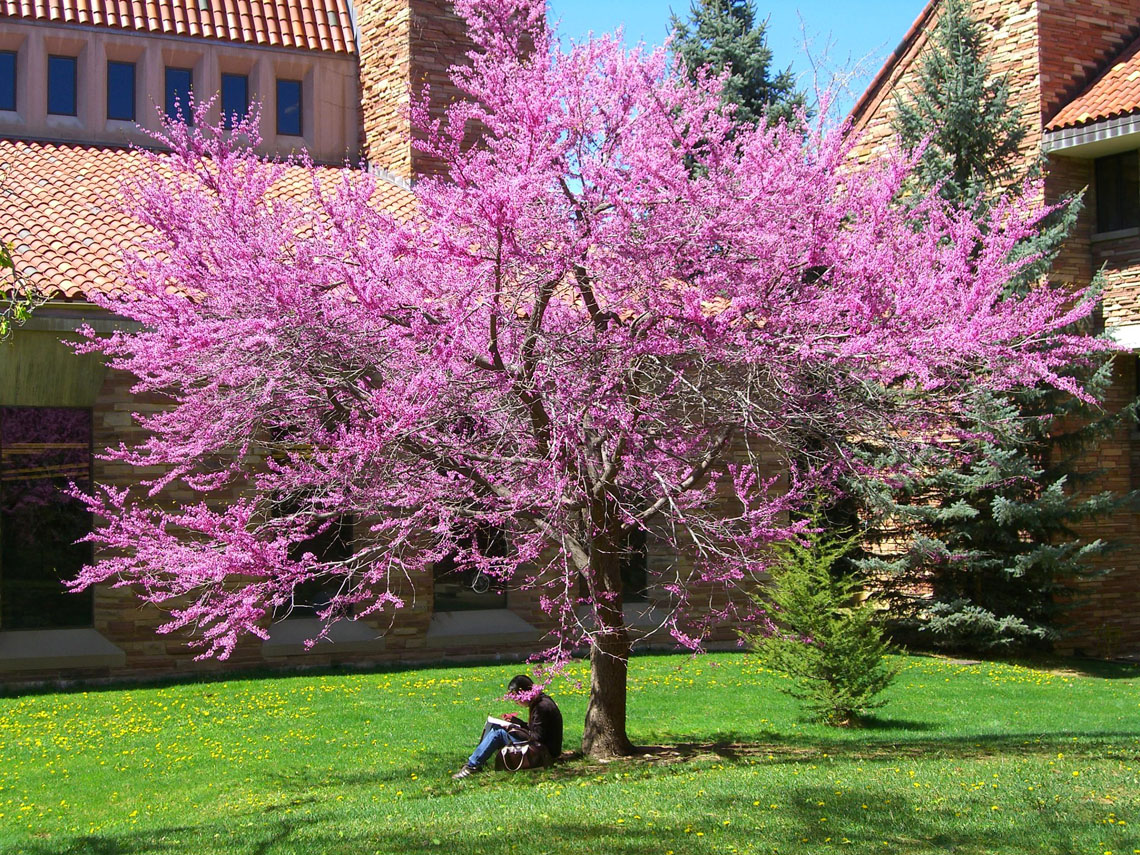 Redbud American Eastern For Sale In Boulder Colorado