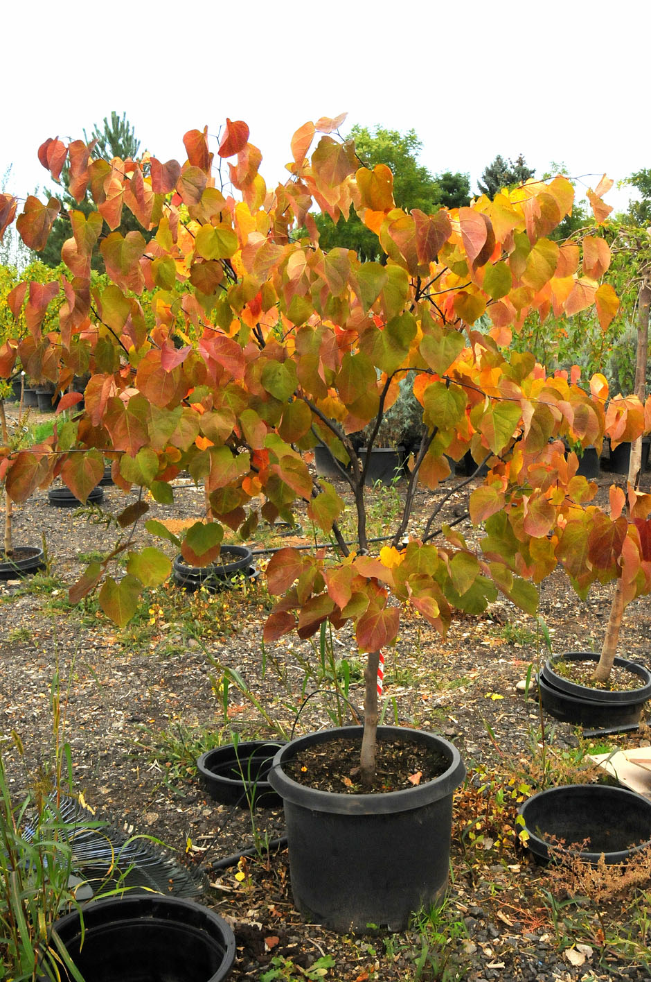 Redbud Forest Pansy For Sale In Boulder Colorado