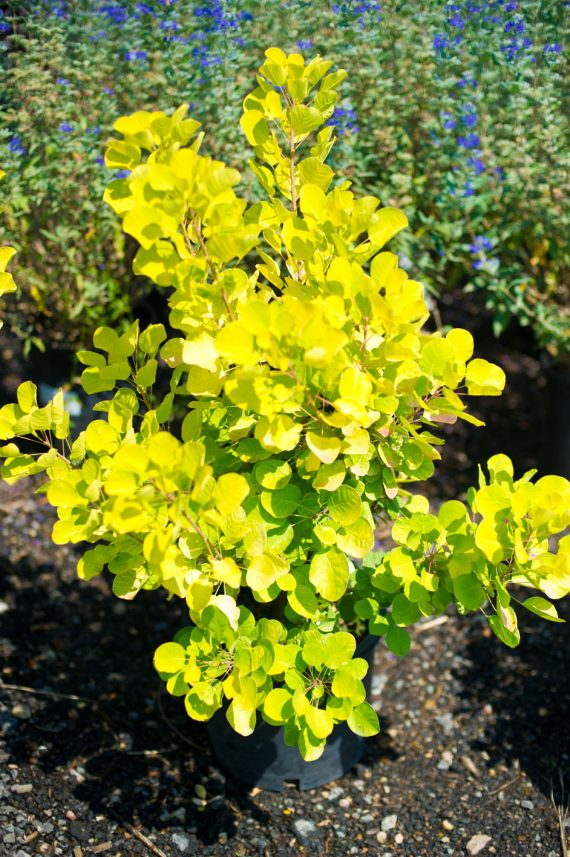 SMOKEBUSH GOLDEN SPIRIT
