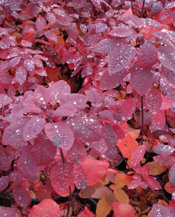 SMOKE BUSH GRACE