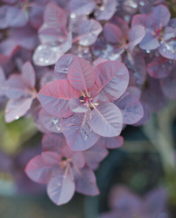 SMOKEBUSH ROYAL PURPLE