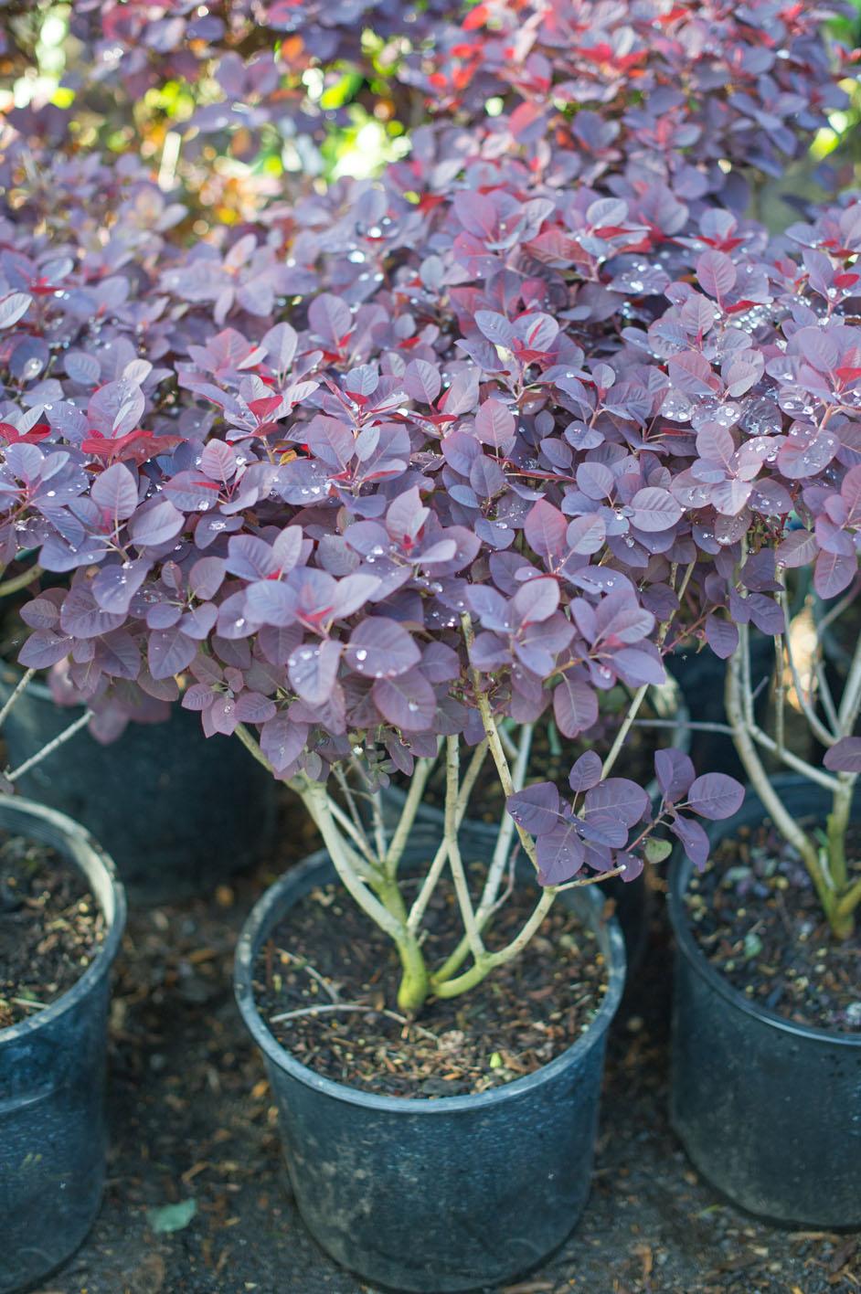 Smokebush Royal Purple For Sale In Boulder Colorado