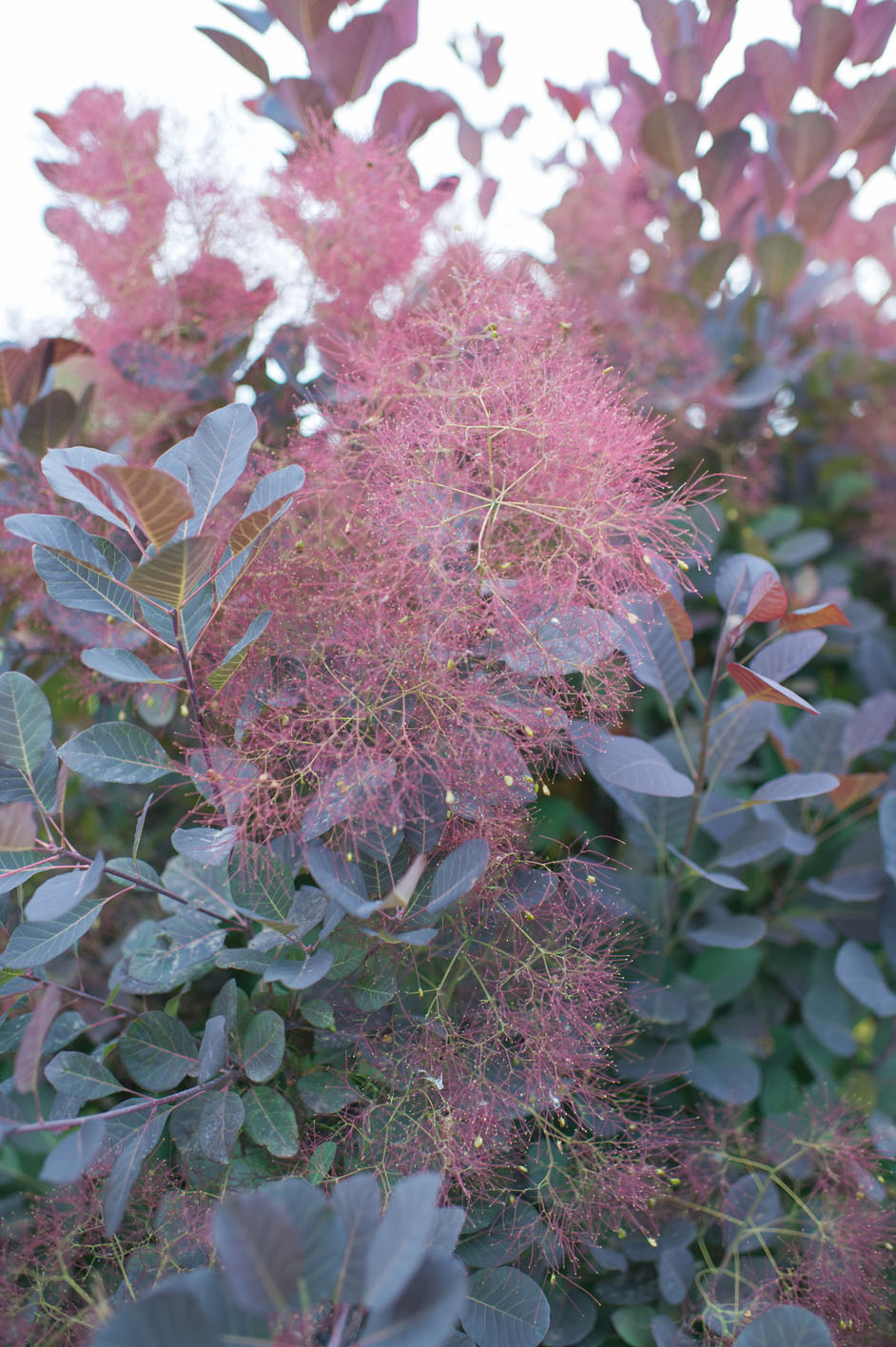 Smokebush Royal Purple For Sale In Boulder Colorado