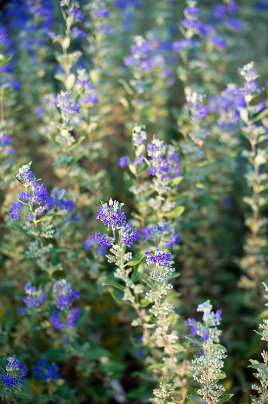 Spiraea Blue Mist For Sale In Boulder Colorado
