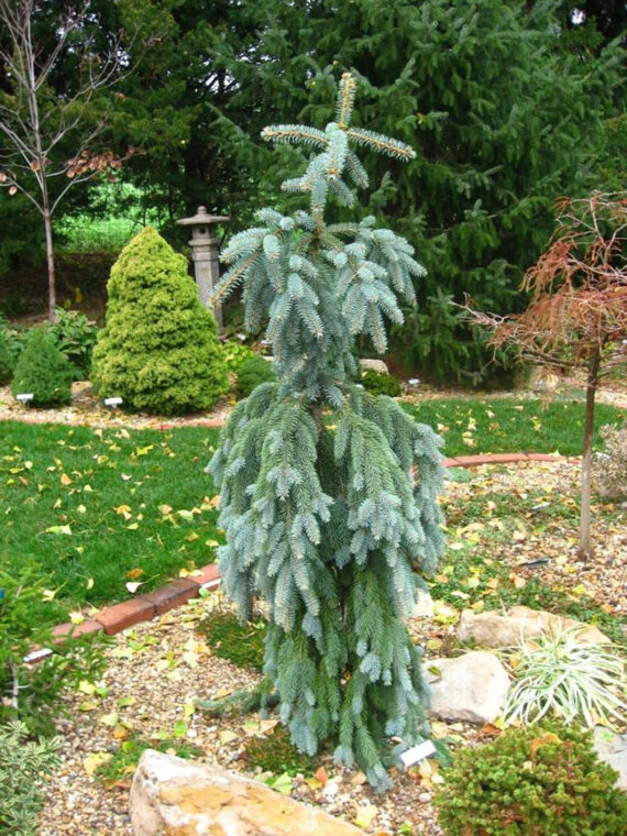 SPRUCE BLUE FALLS WEEPING