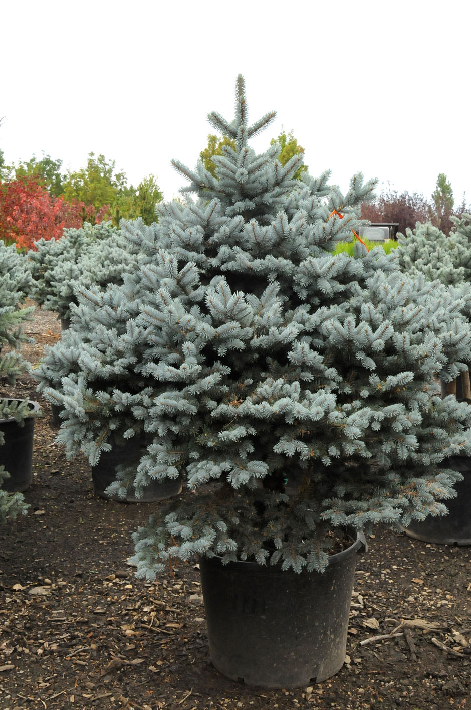 Spruce Montgomery Dwarf For Sale In Boulder Colorado