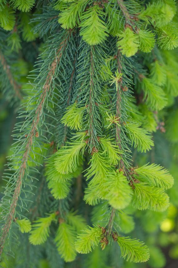 SPRUCE WEEPING NORWAY GREEN