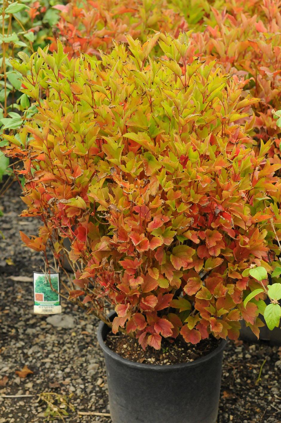 Viburnum American Cranberry For Sale In Boulder Colorado