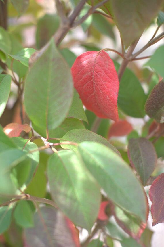 VIBURNUM TREE NANNYBERRY