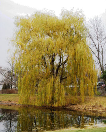WILLOW PRAIRIE CASCADE WEEPING